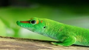 day gecko gold dust